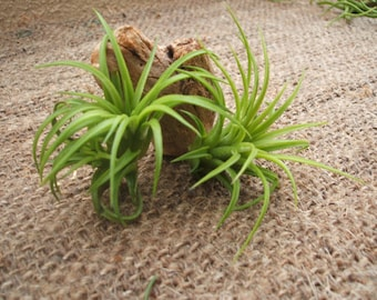 5 Pack ionantha Mexico air plants