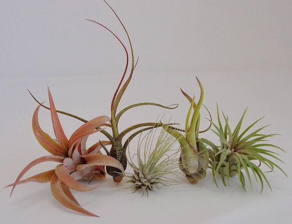 5 Pack Assorted Tillandsia Air Plants Free Shipping Etsy