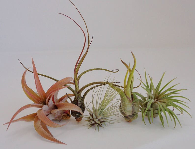5 Pack Assorted Tillandsia Air Plants Free Shipping image 0