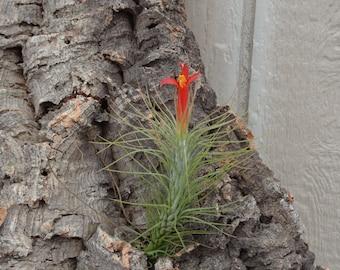 Tillandsia Funkiana plante d'Air