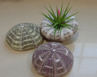 Large Alphonso Sea Urchin Shell