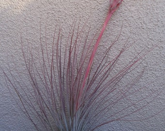 Large Tillandsia Juncea