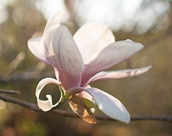 Single Magnolia Print | Springtime Light Pink One Flower Photography Morning Light Floral Wall Art