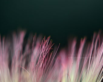 Mimosa Blossom Photo, Pink Flower Blossom Photo, Abstract Photography, Framed Art, Framed Photo, Metallic Print, Canvas, FREE SHIPPING