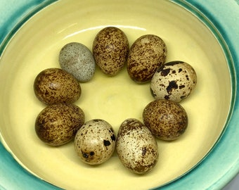15 Coturnix Quail Craft Eggs
