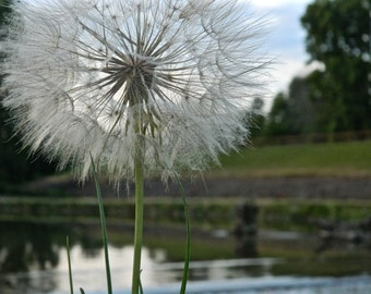 Dandelion Photography, Nature Photography, By The River, Make A Wish, Macro photography, Macro Plant Photo, Photo by Abby Smith, Home Decor