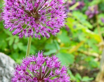Purple Flower Balls of Allium, Photography, Allium Photography, Purple Floral Photography, Nature Photo, Photo by Abby Smith, Home Decor