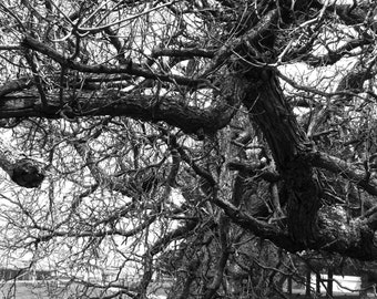 Black and White Photography, Nature Photography, Tree Branches, Old Tree Photography, Photo by Abby Smith, Infinite Graphics, Home Decor