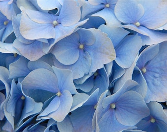 Blue Hydrangea, Flower Photography, Vinyl Wall Decal, Home Decor, by Abby Smith