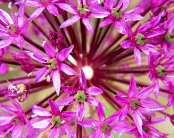 Purple Flower Balls of Allium, Flower Balls, Floral Photography, Macro Photography, Macro Flower Photo, Photo by Abby Smith, Home Decor