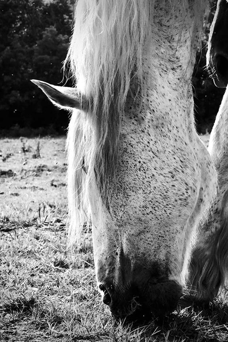 Decal Photo by Abby Smith White Horse Decal Vinyl Wall Decal Wall Graphics Wall Sticker Infinite Graphics BW Photography Horse Decor