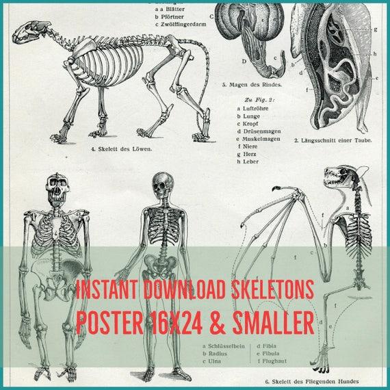 SOFORTIGER DOWNLOAD Skelette inneren Organe Fledermaus | Etsy