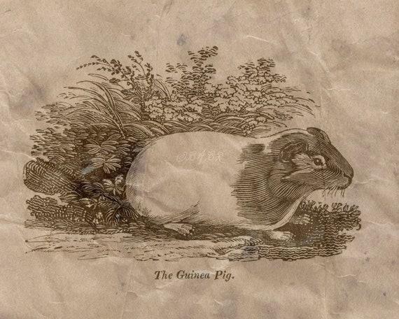 Guinea Pig Cavy Small Pets Buffon Natural History Poster Print 8x10-30x40 1700s