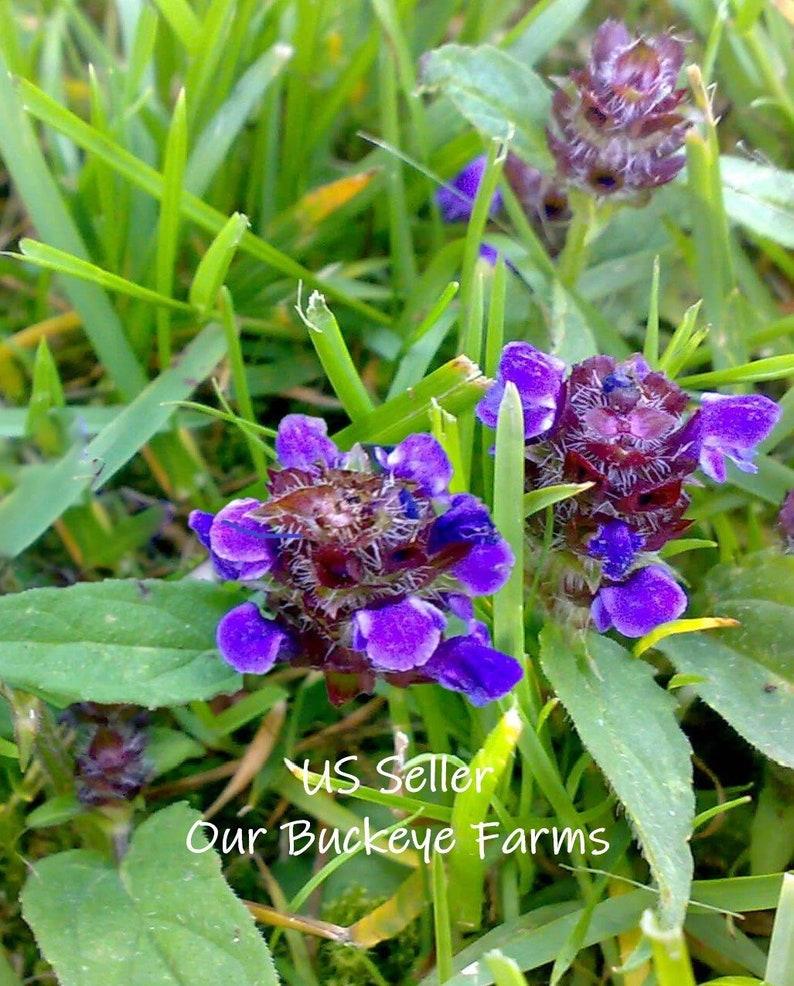 Allheal ~ Prunella vulgaris Seeds ~ Heal-all, All-heal ~ and Woundwort ~  Medicinal Seeds ~ Organic
