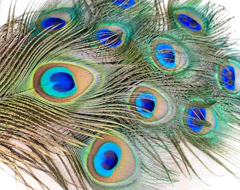"""PEACOCK FEATHERS, 10 Pieces,  8-10"""" Small - Medium Eye"""