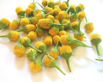 "150 LEMON DROP Buzz Buttons ""Fresh Flowers"" Acmella Oleracea Buzz FlowersYellow Tangy Unique Foodie Food Salad conversation Piece BULK"