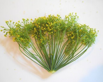 FRESH ORGANIC DILL Blossoms,Large heads Flower fragrant Branches Edible Decorative 25 stems restaurant supply overnight