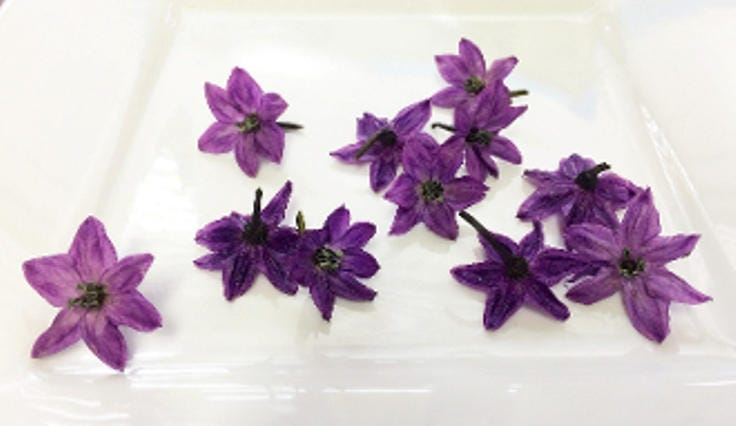 Edible flowers purple pepper blossoms edible deep purple flowers edible flowers purple pepper blossoms edible deep purple flowers saladsgarnishes hors doeuvre toppers 100 mightylinksfo