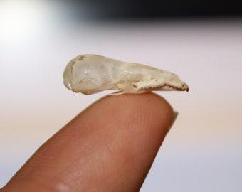 Shrew Skull Alaska Taxidermy Bone Cleaned White Rodent Skeleton Carnivore 17-20mm Sorex