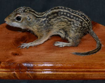 Rare Thirteen Lined Ground Squirrel Free Standing Taxidermy Cute Gag Gift