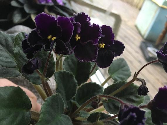 african violet leaves miniature semiminiature standard