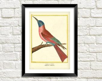 HUMMING BIRD PRINT: Vintage Martinet Bird Art Illustration Wall Hanging (A4 / A3 Size)