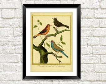 BIRDS PRINT: Vintage Oiseaux Gravures Art Illustration Wall Hanging (A4 / A3 Size)