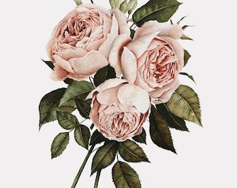 Three English Roses Watercolor Print