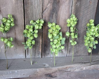 Dried Hops Etsy
