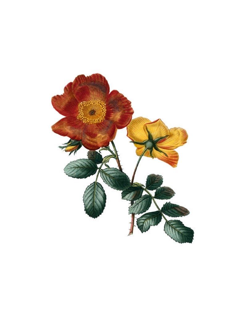 Rose Orange Yellow Flower Vintage Botanical Print Plant Png Etsy