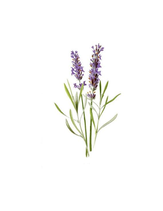 Lavender Flower Herb Vintage Botanical Print Plant Png Clip Etsy