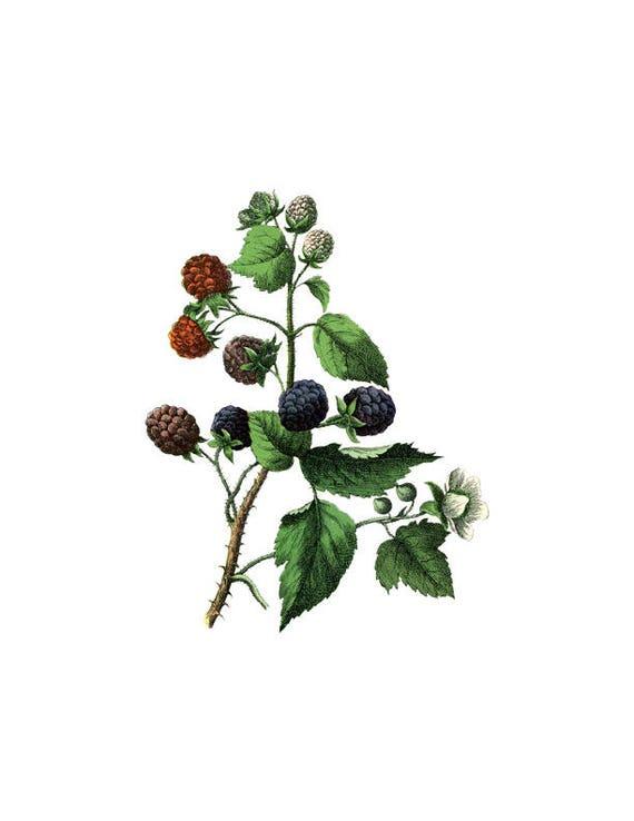 Brombeere Botanische Druck Obst Pflanze Png Clip Kunst Vintage Etsy