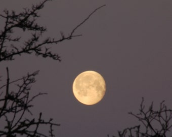 Moon Photograph, Crown of Thorns, February Moon photo, Hawthorn branches, waning gibbous golden moon, dawn sky, lunar photography,