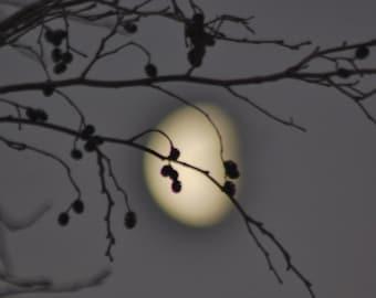 Waning Moon Photo, Moon behind Alder, grey & gold print, hazy moon, winter twilight sky, tree sillhouette, gold moon grey sky photograph,