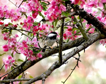 Chickadee Digital Download, Bird Photography, Nature Photography, Bird Wall Art, Digital Image, Chickadee in the Crabapple Tree Wall Art