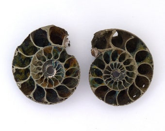 Pyritized Ammonite Fossil Mineral Specimen Pair from Russia Free Shipping Free Returns