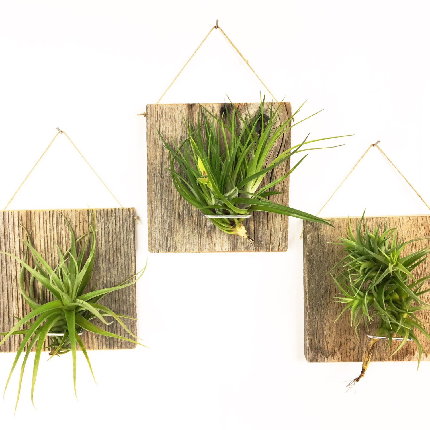 Ensemble de trois grande forme forme forme Air plante et Grange bois Grab Bag airplants, suspendu le support mural 900f88