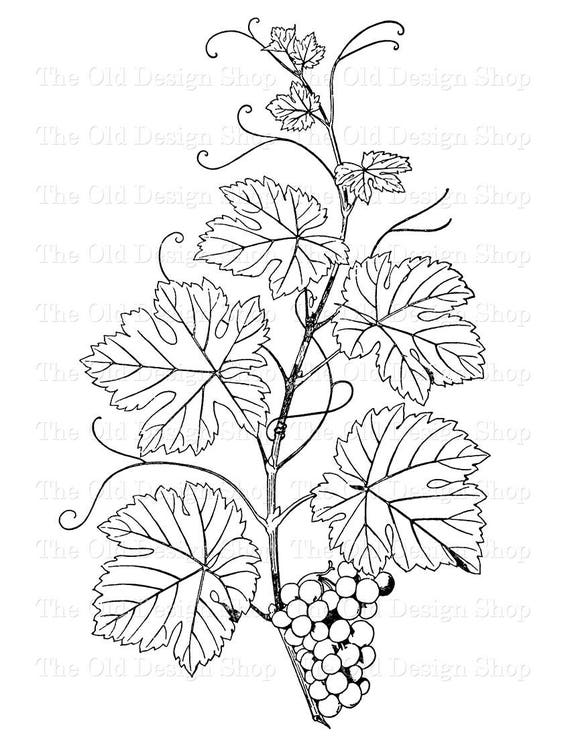 botanical clip art grapes on the vine vintage illustration etsy Grape Oil image