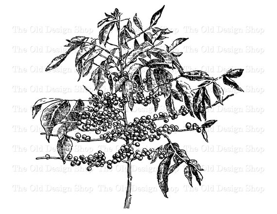 Coffee Tree Branch With Berries Vintage Botanical Clip Art Etsy