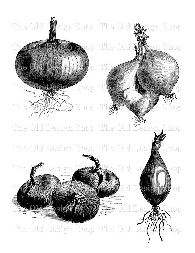Onion Commercial Use Clip Art Vintage Garden Onions image 0