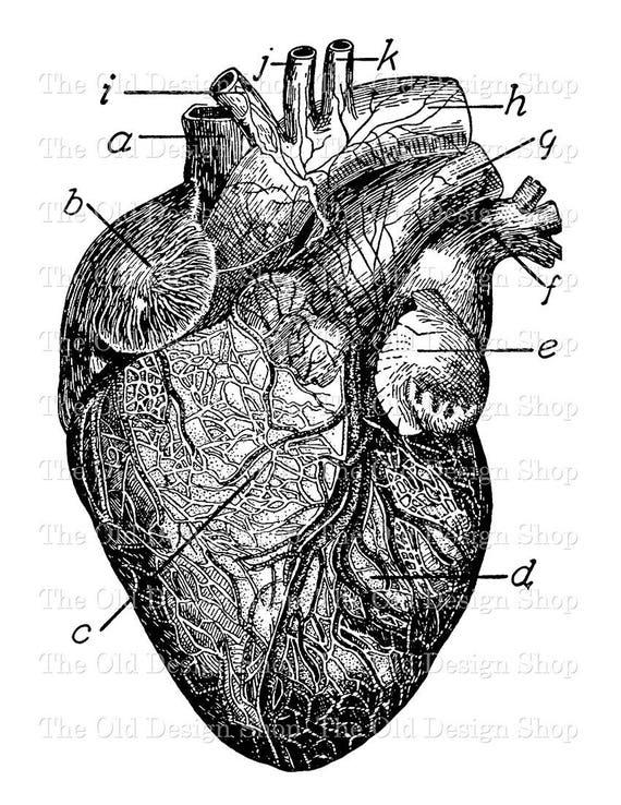 Anatomical Heart Clip Art Vintage Medical Illustration Etsy
