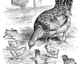 Chicken Chick Vintage Farm Animal Clip Art Digital Stamp Transfer Image