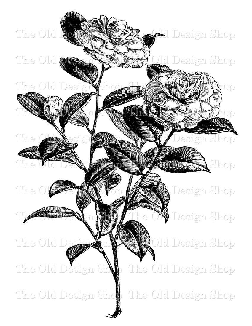Flower Clip Art Camellia Japonica Winter Rose Illustration Etsy