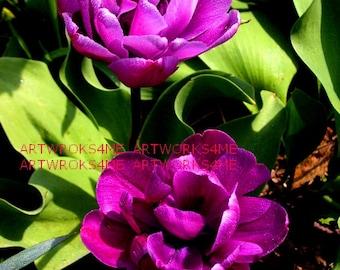 Purple Hybrid Double Tulips, Digital Photo