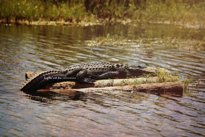 Swamp River Lake Coastal Decor Rafting Alligator Photo Florida Reptile Home Wall Art Green Landscape Nature Print Gator Photography