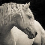 Reserved for MALU - FLAX, Cremello Lusitano Stallion