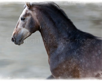 """ANDALUSIAN COLT - """"ARISTA"""", Horse Photo, Action Photography, Edition Art Print, Wall Decor, Equine Art"""