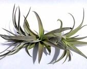 Air Plant Harrissi Mix of 3 Airplant, Tillandsia, wholesale, Bulk, Sale, Wedding Favors, Terrariums