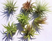 Tillandsia Air Plant Iona 3 for 1 Deal Airplant, Tillandsia, wholesale, Bulk, Sale, Wedding Favors, Terrariums