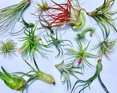 Air Plant WHOLESALE Mix quantity of your choice Airplant, Tillandsia, wholesale, Bulk, Sale, Wedding Favors, Terrariums